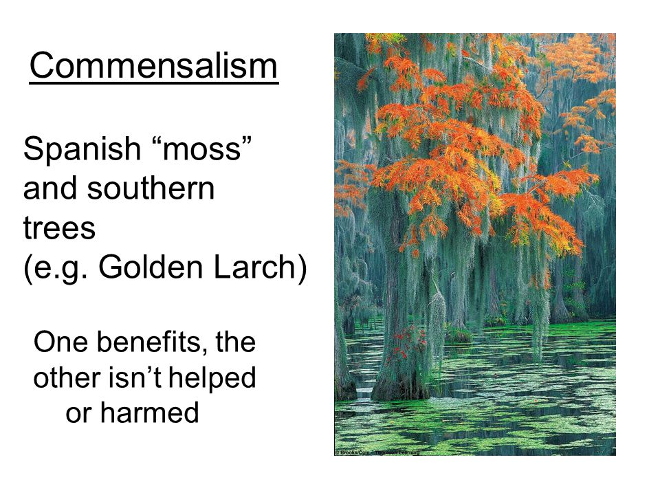 "Commensalism Spanish ""moss"" and southern trees (e.g. Golden Larch) One benefits, the other isn't helped or harmed"
