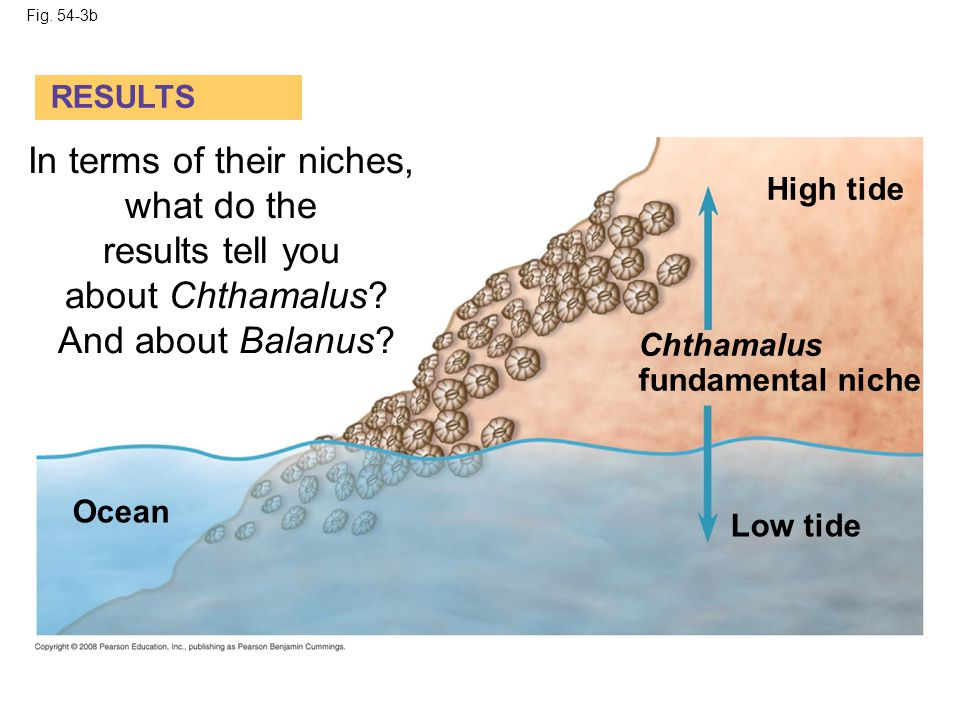 Fig. 54-3b RESULTS High tide Chthamalus fundamental niche Low tide Ocean In terms of their niches, what do the results tell you about Chthamalus? And
