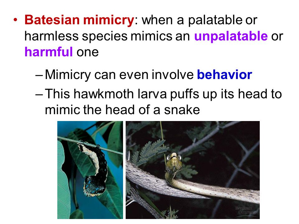 Batesian mimicry: when a palatable or harmless species mimics an unpalatable or harmful one –Mimicry can even involve behavior –This hawkmoth larva pu