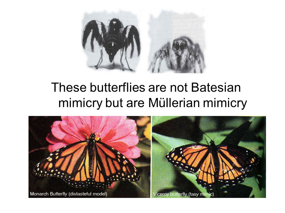 These butterflies are not Batesian mimicry but are Müllerian mimicry