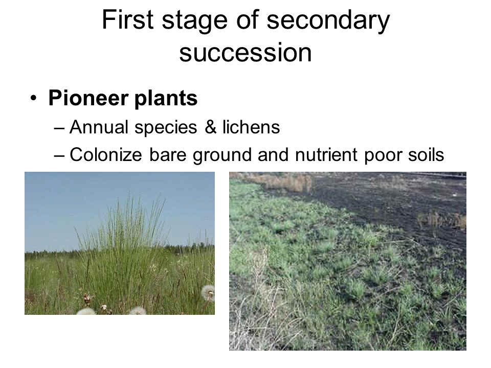 First stage of secondary succession Pioneer plants –Annual species & lichens –Colonize bare ground and nutrient poor soils