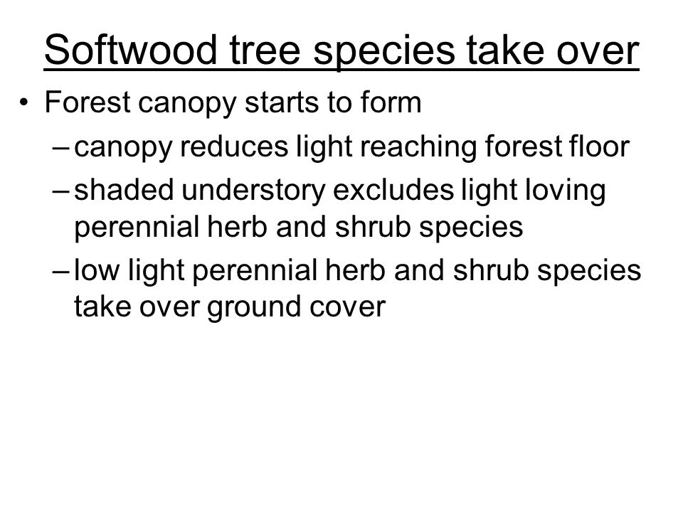 Softwood tree species take over Forest canopy starts to form –canopy reduces light reaching forest floor –shaded understory excludes light loving pere