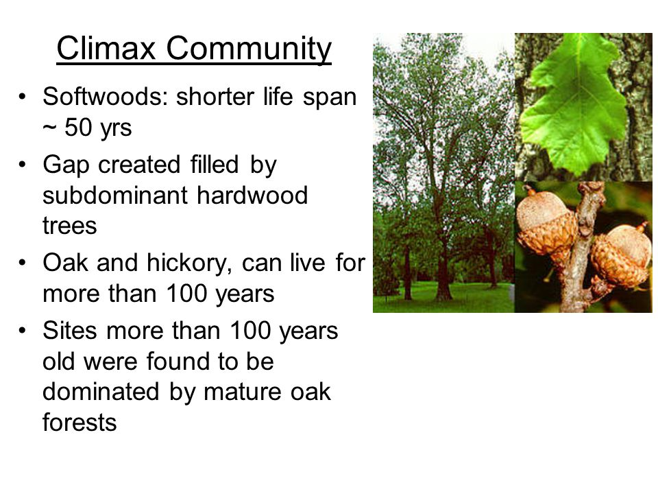Climax Community Softwoods: shorter life span ~ 50 yrs Gap created filled by subdominant hardwood trees Oak and hickory, can live for more than 100 ye