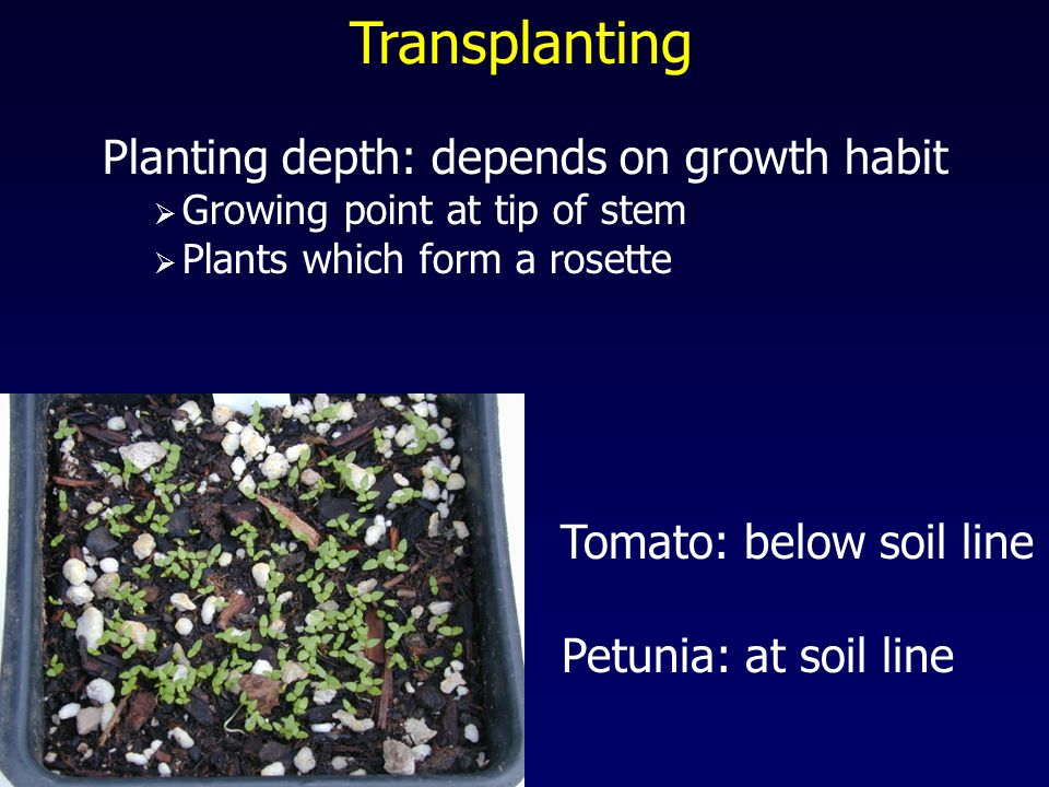 Transplanting Planting depth: depends on growth habit  Growing point at tip of stem  Plants which form a rosette Petunia: at soil line Tomato: below soil line