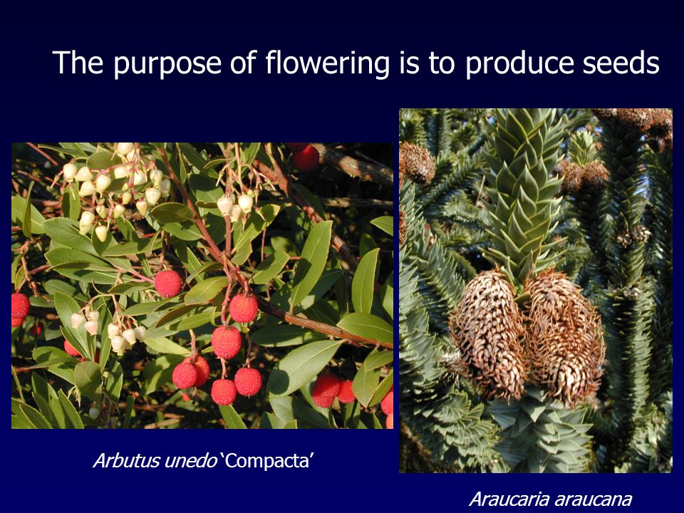 Arbutus unedo 'Compacta' The purpose of flowering is to produce seeds Araucaria araucana