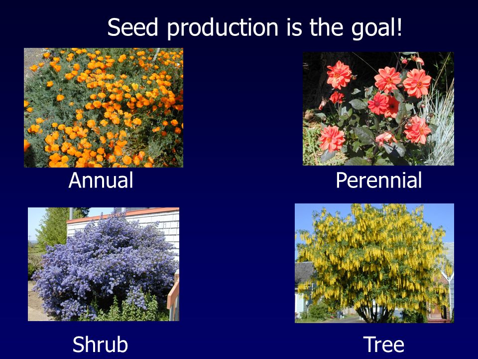 Seed production is the goal! AnnualPerennial ShrubTree