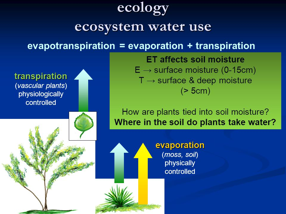 ecology ecosystem water use transpiration (vascular plants) physiologically controlled evaporation (moss, soil) physically controlled evapotranspiration = evaporation + transpiration ET affects soil moisture E → surface moisture (0-15cm) T → surface & deep moisture (> 5cm) How are plants tied into soil moisture.