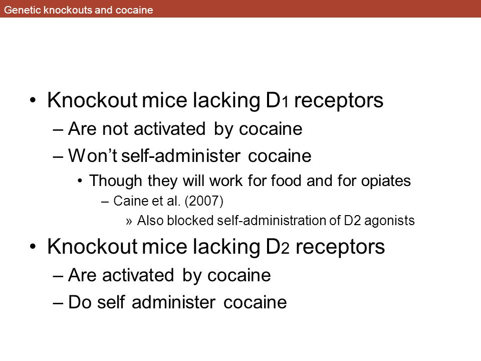 Genetic knockouts and cocaine Knockout mice lacking D 1 receptors –Are not activated by cocaine –Won't self-administer cocaine Though they will work for food and for opiates –Caine et al.