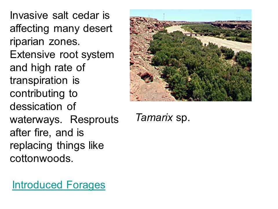 Tamarix sp.Invasive salt cedar is affecting many desert riparian zones.