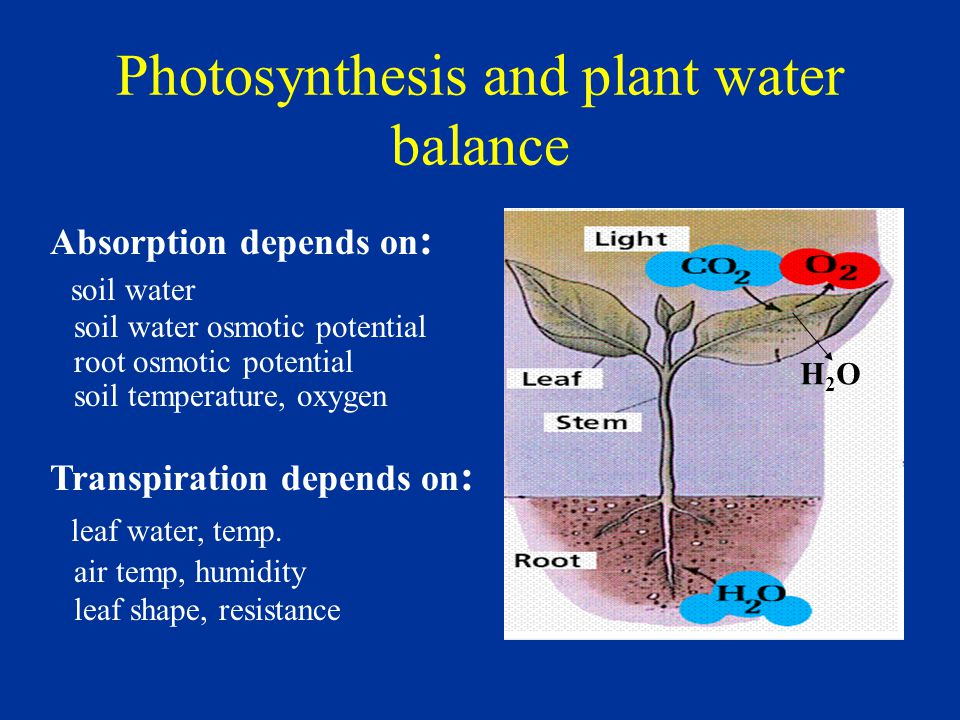 Photosynthesis and plant water balance Absorption depends on : soil water soil water osmotic potential root osmotic potential soil temperature, oxygen Transpiration depends on : leaf water, temp.