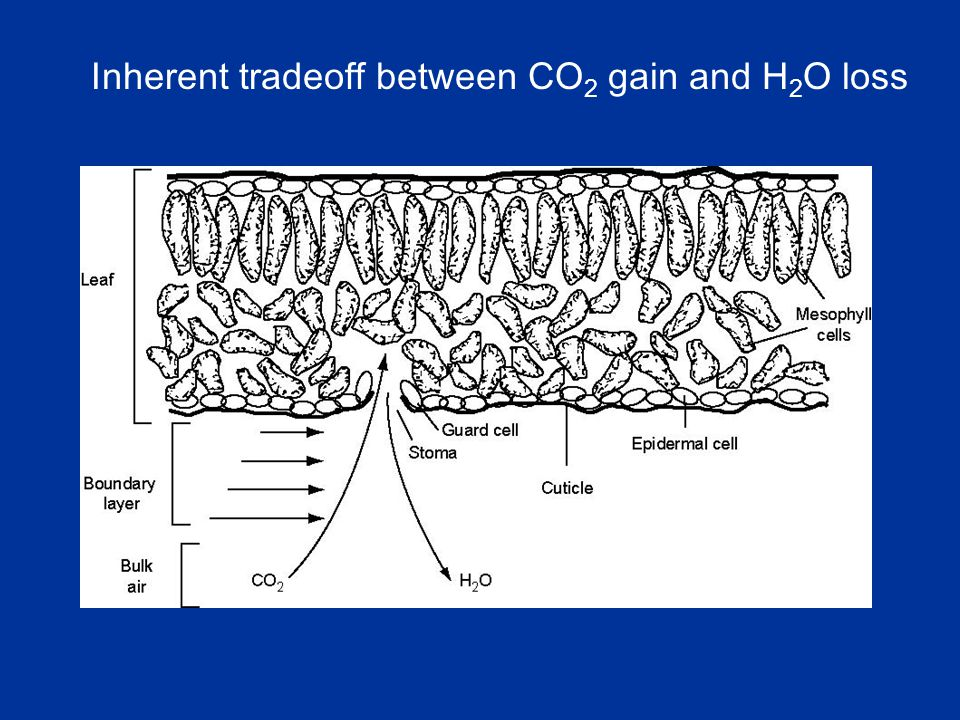 Inherent tradeoff between CO 2 gain and H 2 O loss