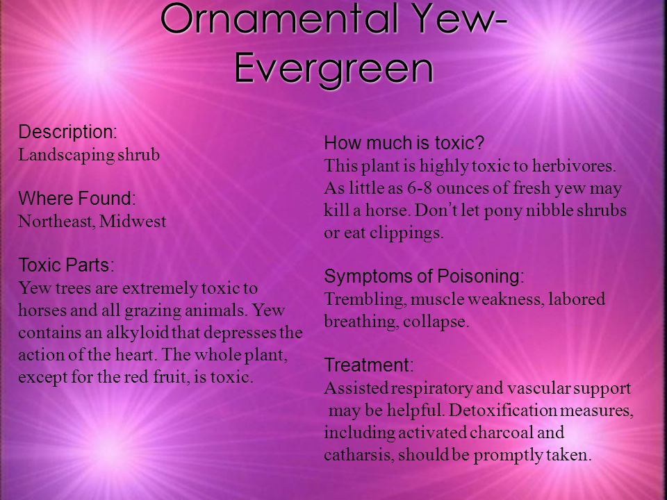 Ornamental Yew- Evergreen Description: Landscaping shrub Where Found: Northeast, Midwest Toxic Parts: Yew trees are extremely toxic to horses and all