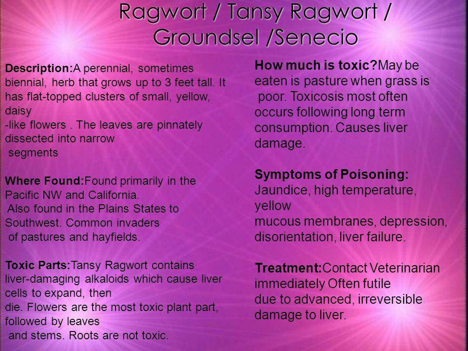 Ragwort / Tansy Ragwort / Groundsel /Senecio Description:A perennial, sometimes biennial, herb that grows up to 3 feet tall. It has flat-topped cluste