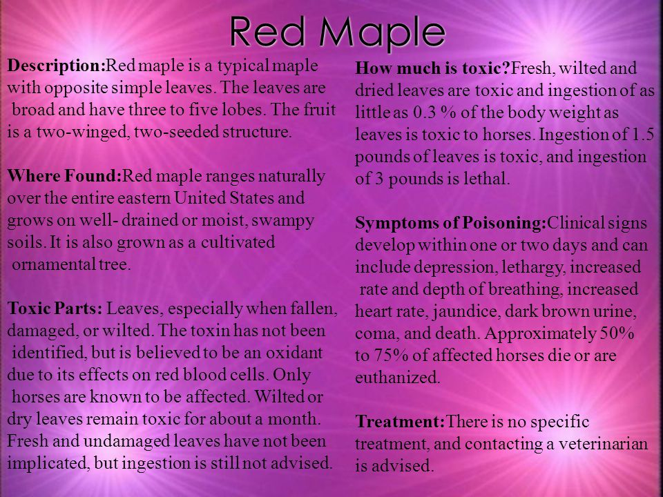 Red Maple Description:Red maple is a typical maple with opposite simple leaves. The leaves are broad and have three to five lobes. The fruit is a two-