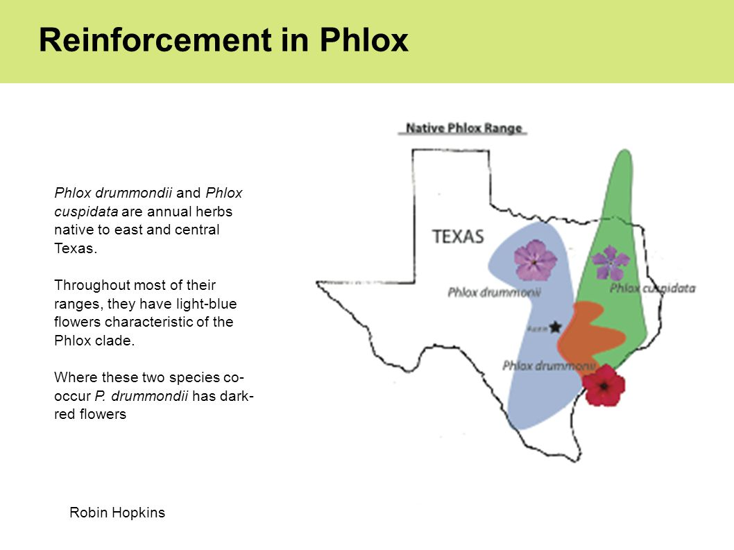 Reinforcement in Phlox Phlox drummondii and Phlox cuspidata are annual herbs native to east and central Texas.