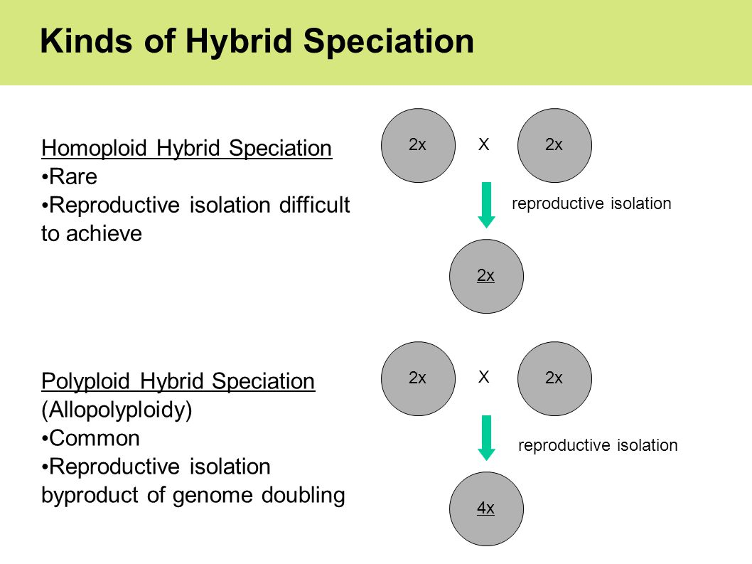 Kinds of Hybrid Speciation Homoploid Hybrid Speciation Rare Reproductive isolation difficult to achieve 2x X Polyploid Hybrid Speciation (Allopolyploidy) Common Reproductive isolation byproduct of genome doubling 2x 4x X reproductive isolation