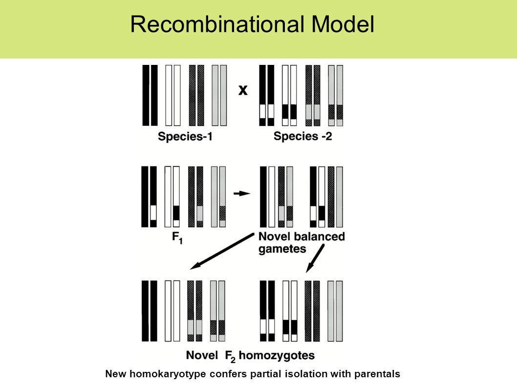 Recombinational Model New homokaryotype confers partial isolation with parentals