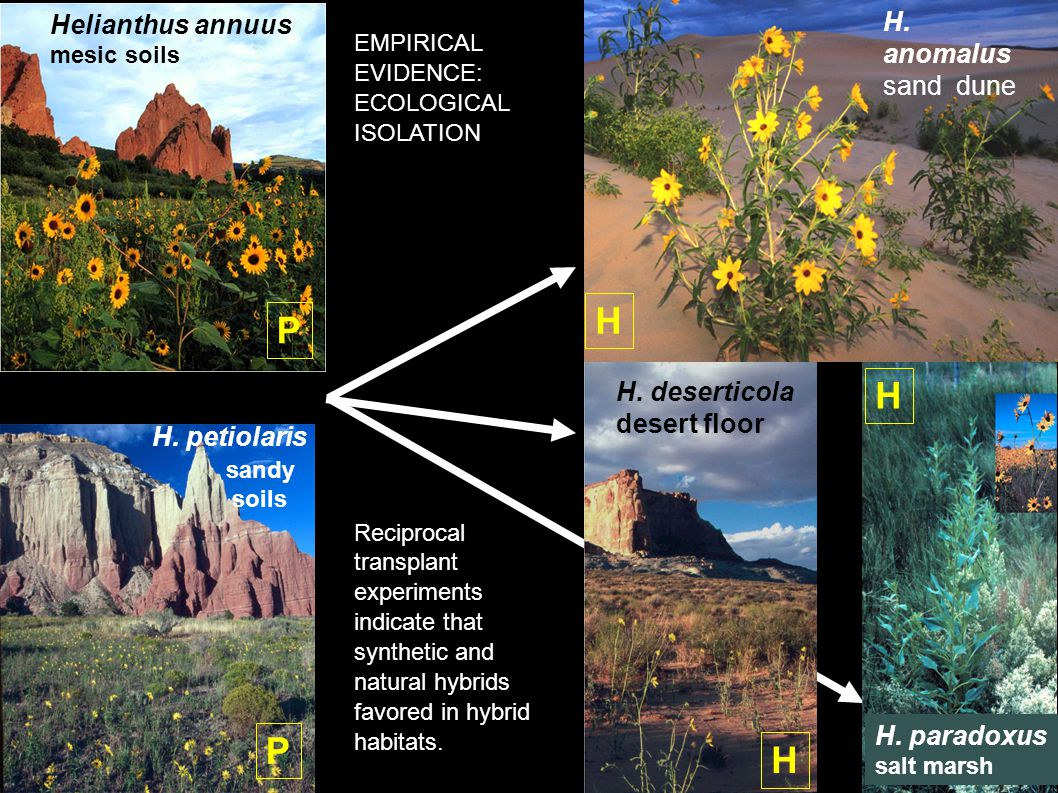 H. deserticola desert floor H x Helianthus annuus mesic soils H.