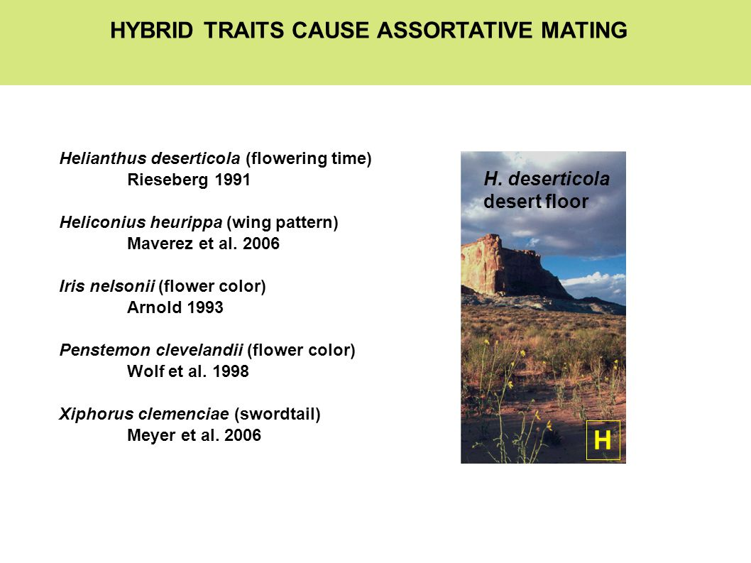 HYBRID TRAITS CAUSE ASSORTATIVE MATING Helianthus deserticola (flowering time) Rieseberg 1991 Heliconius heurippa (wing pattern) Maverez et al.