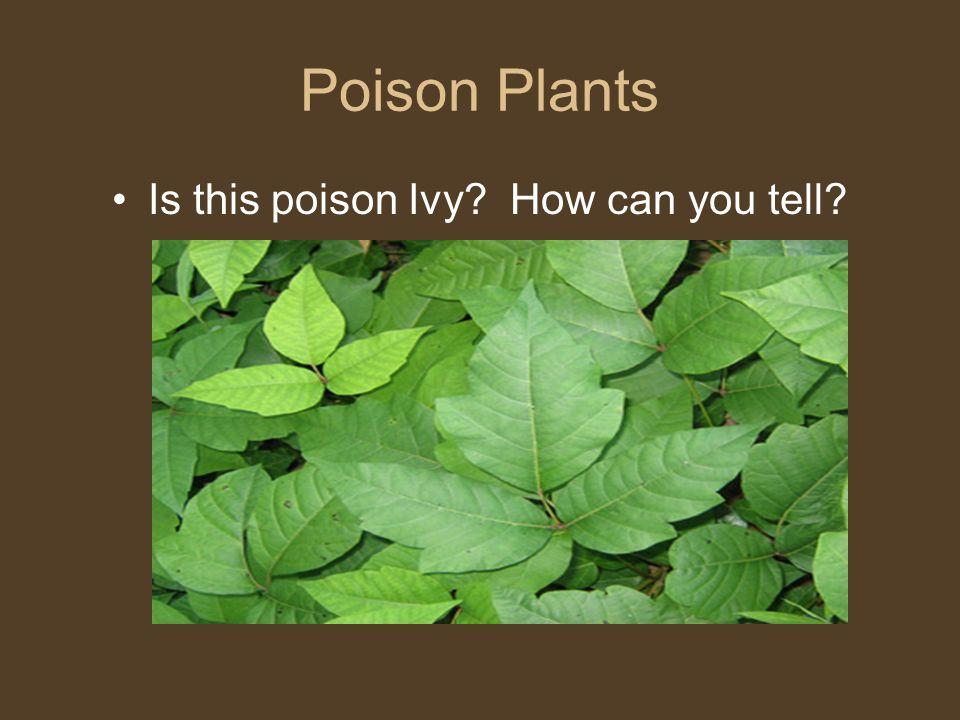 Poison Plants Is this poison Ivy? How can you tell?