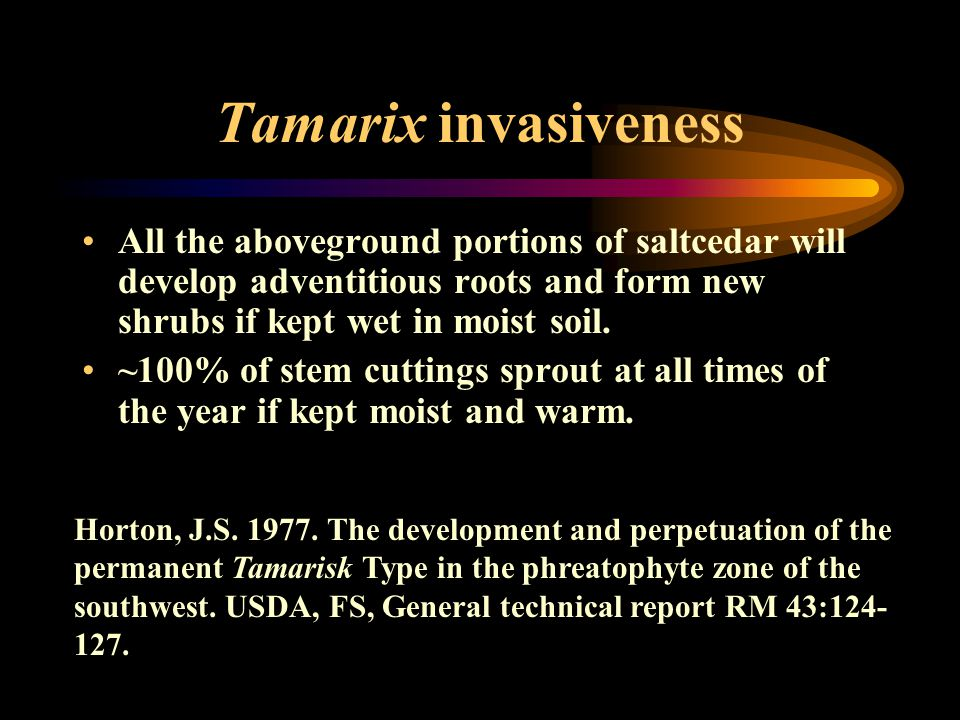 Tamarix invasiveness All the aboveground portions of saltcedar will develop adventitious roots and form new shrubs if kept wet in moist soil. ~100% of
