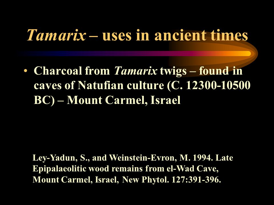 Tamarix – uses in ancient times Charcoal from Tamarix twigs – found in caves of Natufian culture (C. 12300-10500 BC) – Mount Carmel, Israel Ley-Yadun,