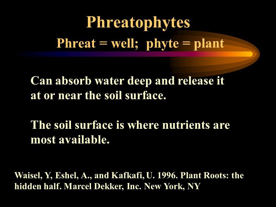 Phreatophytes Phreat = well; phyte = plant Waisel, Y, Eshel, A., and Kafkafi, U. 1996. Plant Roots: the hidden half. Marcel Dekker, Inc. New York, NY