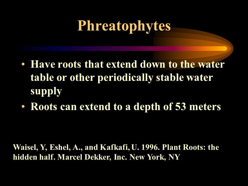 Phreatophytes Have roots that extend down to the water table or other periodically stable water supply Roots can extend to a depth of 53 meters Waisel, Y, Eshel, A., and Kafkafi, U.