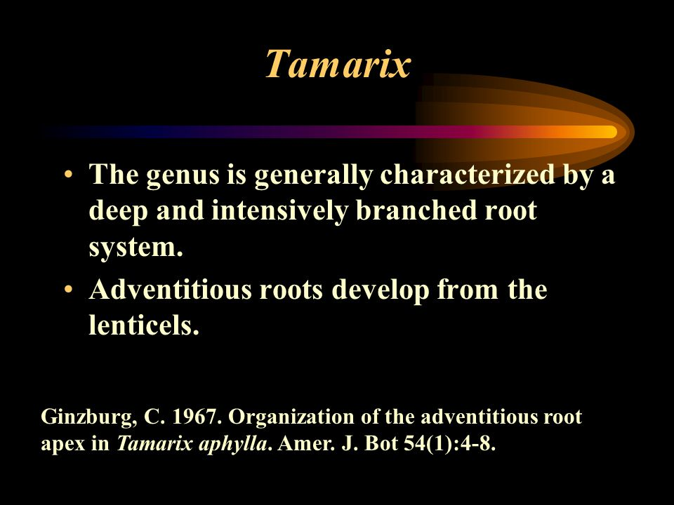 Tamarix The genus is generally characterized by a deep and intensively branched root system. Adventitious roots develop from the lenticels. Ginzburg,