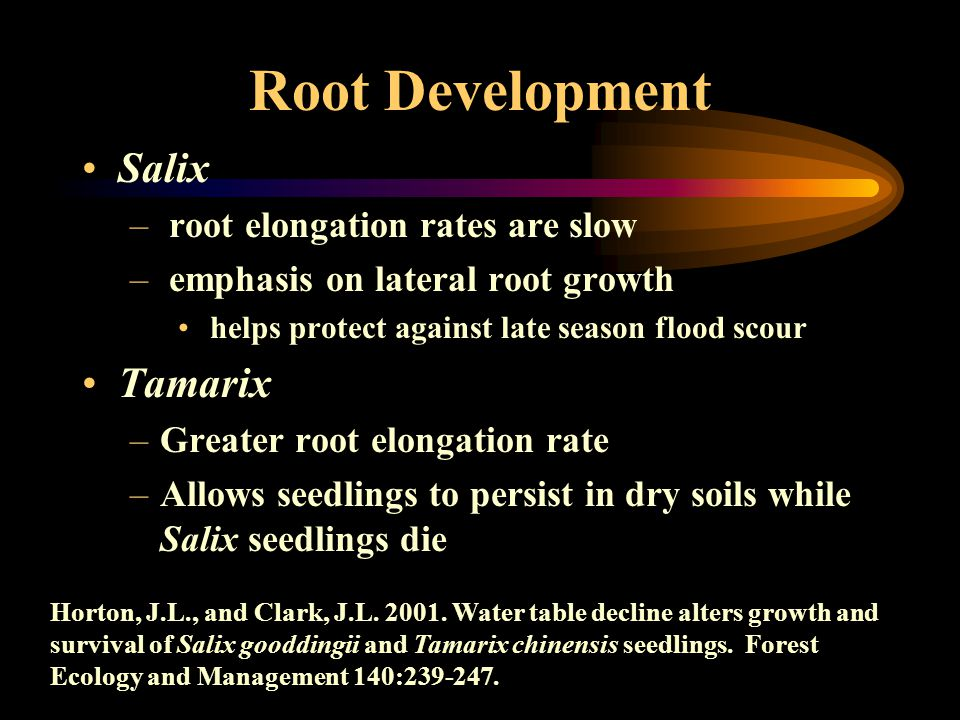 Root Development Salix – root elongation rates are slow – emphasis on lateral root growth helps protect against late season flood scour Tamarix –Greater root elongation rate –Allows seedlings to persist in dry soils while Salix seedlings die Horton, J.L., and Clark, J.L.