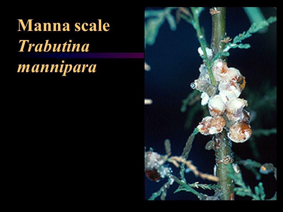 Manna scale Trabutina mannipara