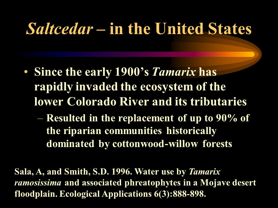 Saltcedar – in the United States Since the early 1900's Tamarix has rapidly invaded the ecosystem of the lower Colorado River and its tributaries –Resulted in the replacement of up to 90% of the riparian communities historically dominated by cottonwood-willow forests Sala, A, and Smith, S.D.