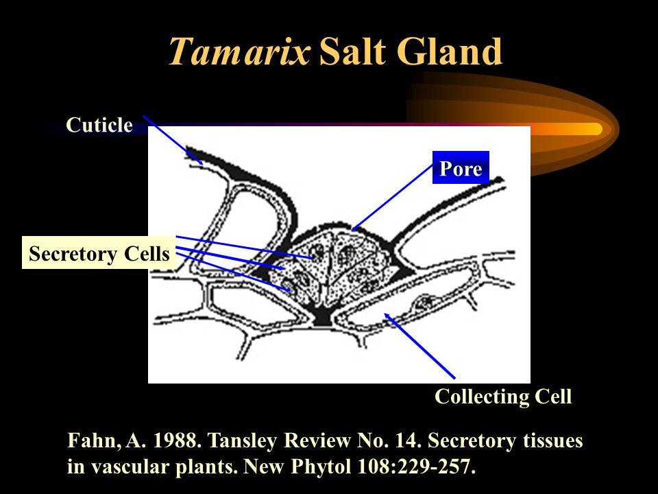 Tamarix Salt Gland Collecting Cell Secretory Cells Pore Cuticle Fahn, A. 1988. Tansley Review No. 14. Secretory tissues in vascular plants. New Phytol