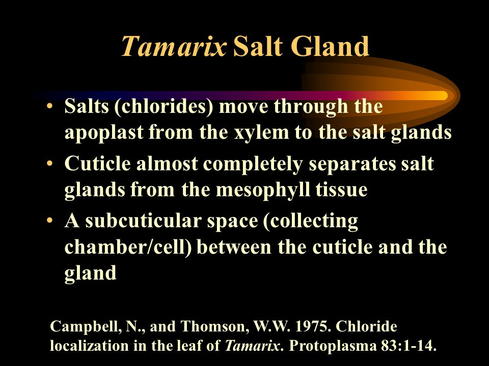 Tamarix Salt Gland Salts (chlorides) move through the apoplast from the xylem to the salt glands Cuticle almost completely separates salt glands from