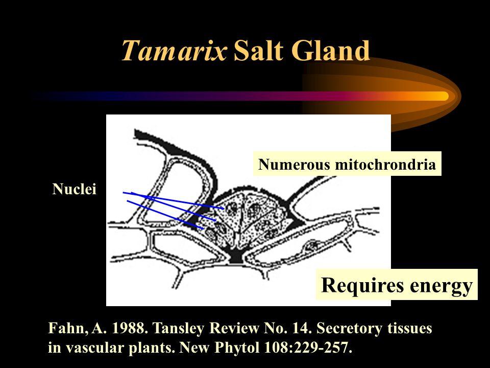 Tamarix Salt Gland Numerous mitochrondria Nuclei Fahn, A. 1988. Tansley Review No. 14. Secretory tissues in vascular plants. New Phytol 108:229-257. R