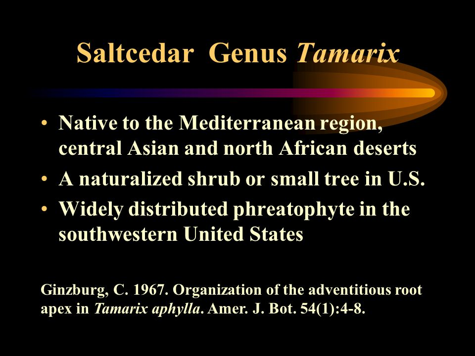 Saltcedar Genus Tamarix Native to the Mediterranean region, central Asian and north African deserts A naturalized shrub or small tree in U.S. Widely d