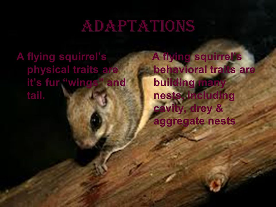 Adaptations A flying squirrel's physical traits are it's fur wings and tail.