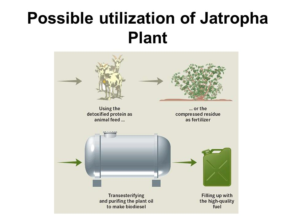 Possible utilization of Jatropha Plant