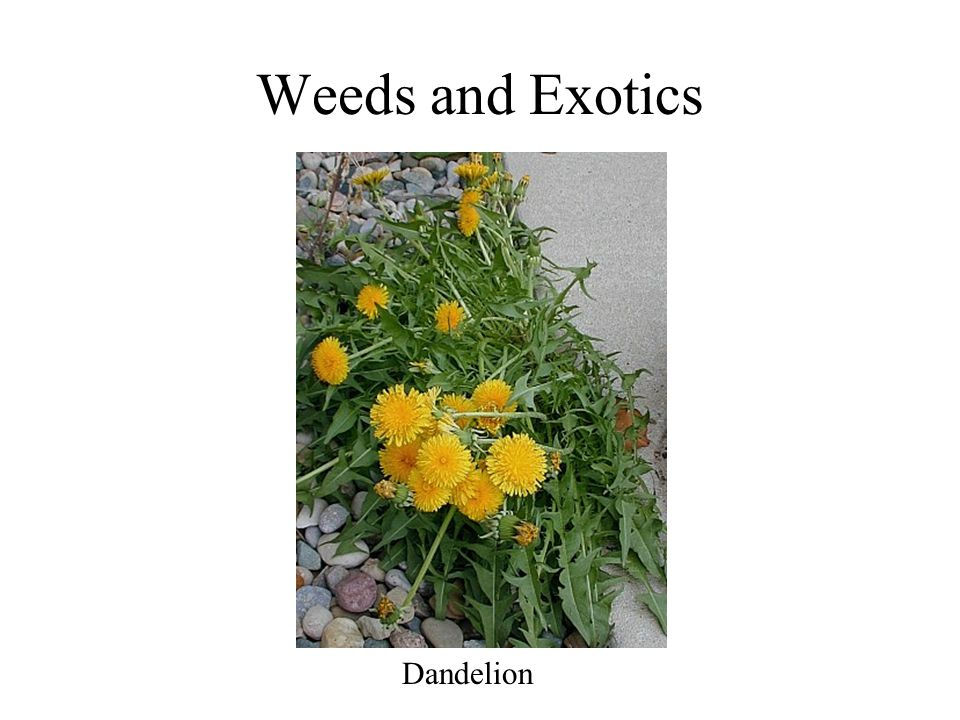 Weeds and Exotics Dandelion