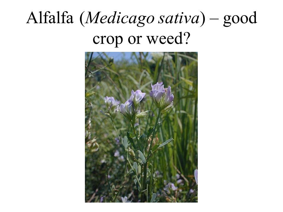 Alfalfa (Medicago sativa) – good crop or weed?