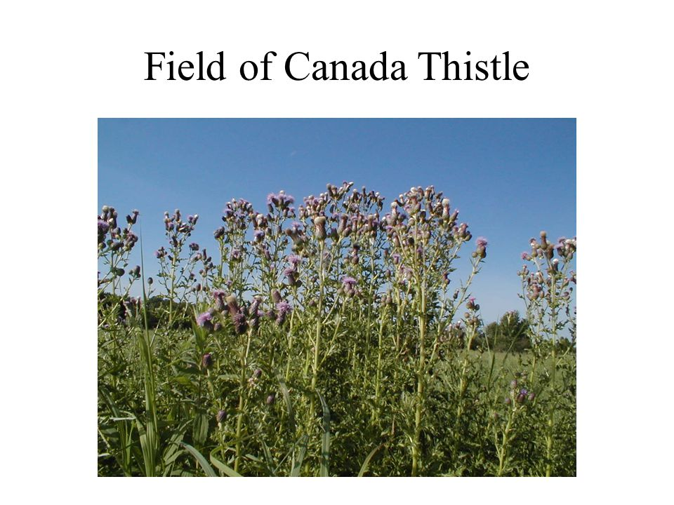 Field of Canada Thistle