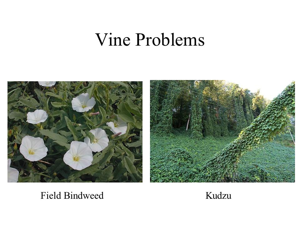 Vine Problems Field Bindweed Kudzu