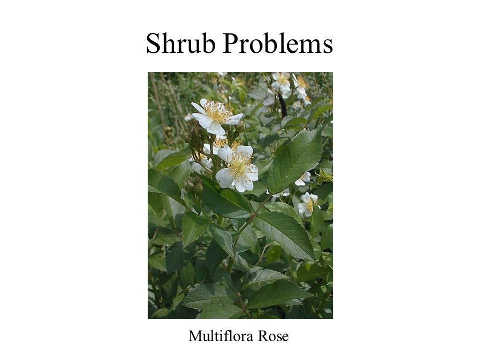 Shrub Problems Multiflora Rose