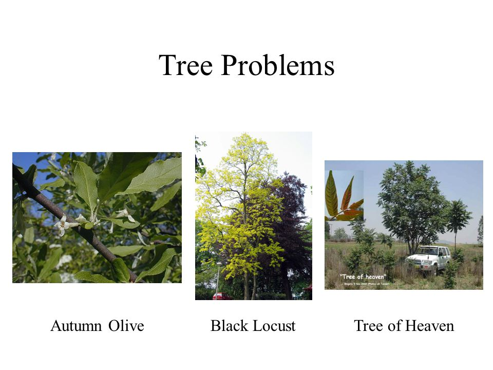 Tree Problems Autumn Olive Black Locust Tree of Heaven