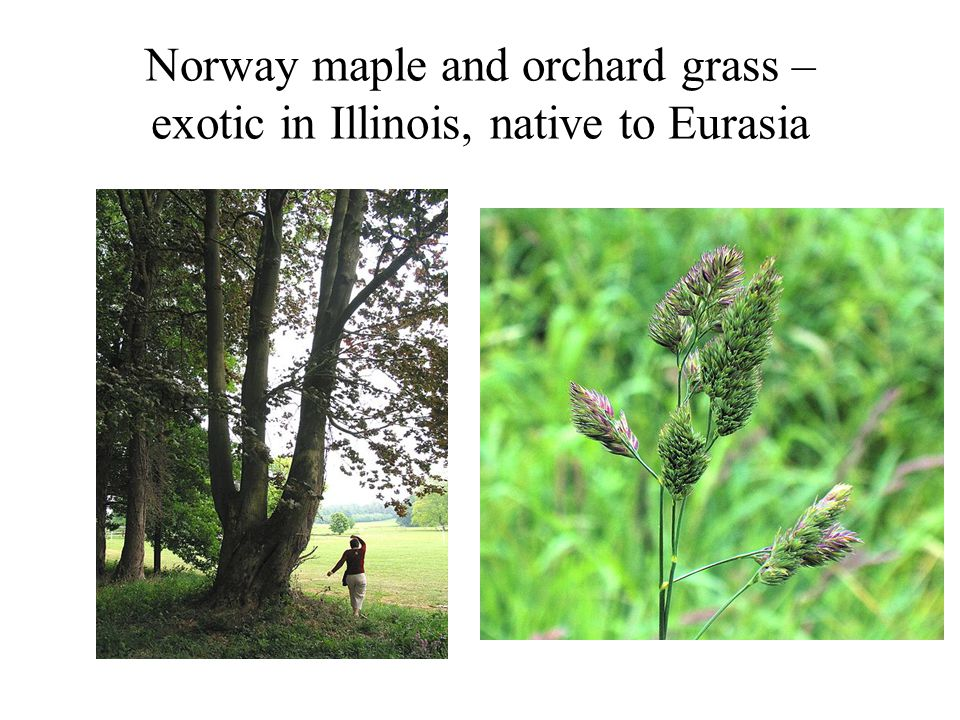 Another way to think about weeds Problem invasive speciesNot native to ecosystem.