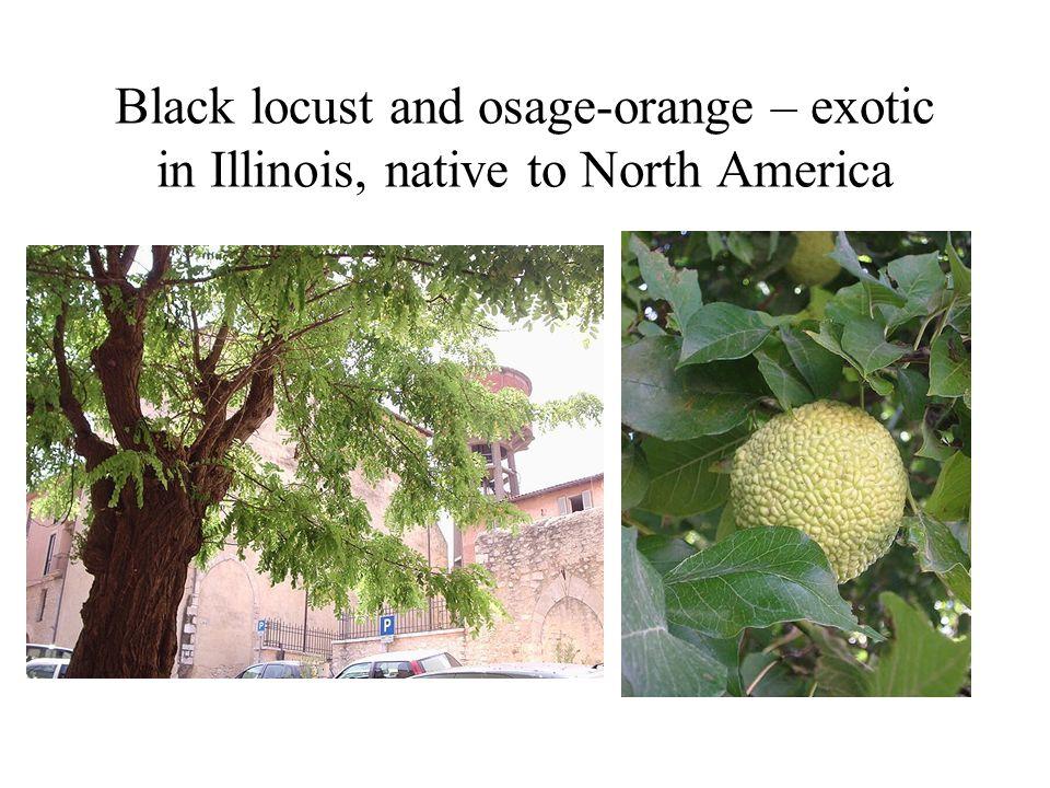 Black locust and osage-orange – exotic in Illinois, native to North America