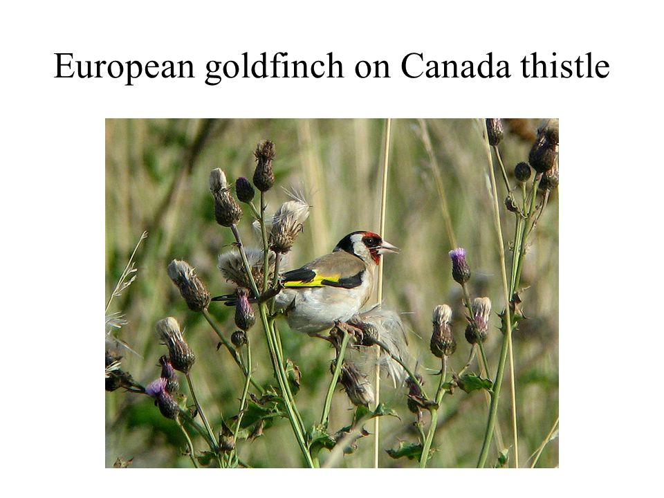 European goldfinch on Canada thistle