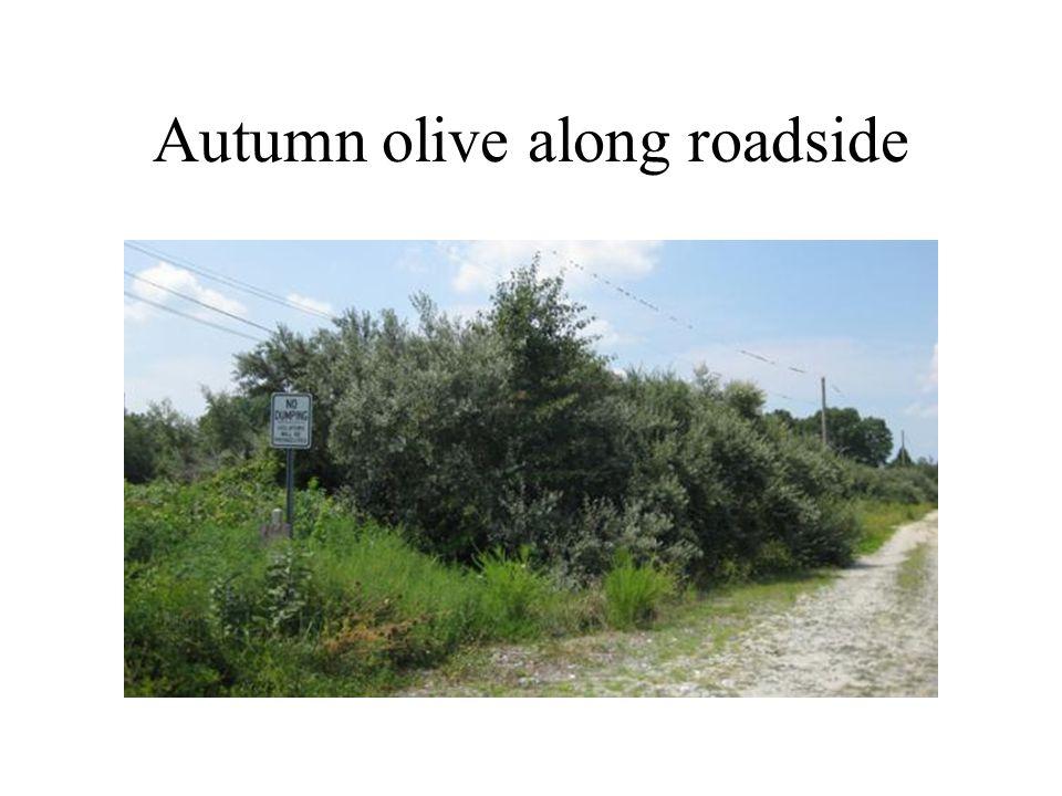 Autumn olive along roadside
