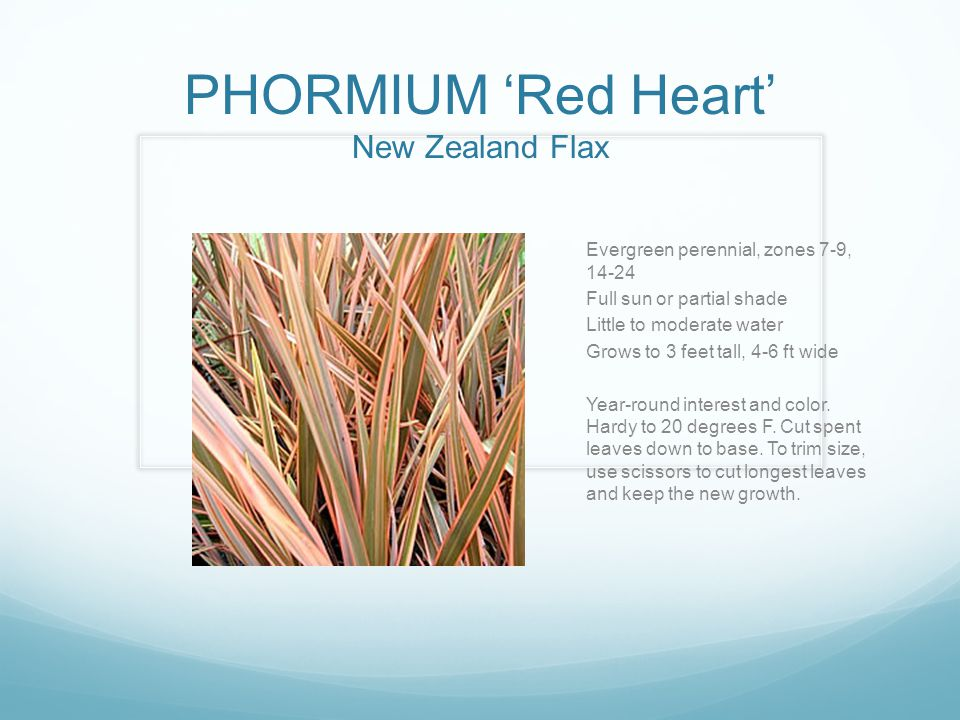 PHORMIUM 'Red Heart' New Zealand Flax Evergreen perennial, zones 7-9, 14-24 Full sun or partial shade Little to moderate water Grows to 3 feet tall, 4-6 ft wide Year-round interest and color.