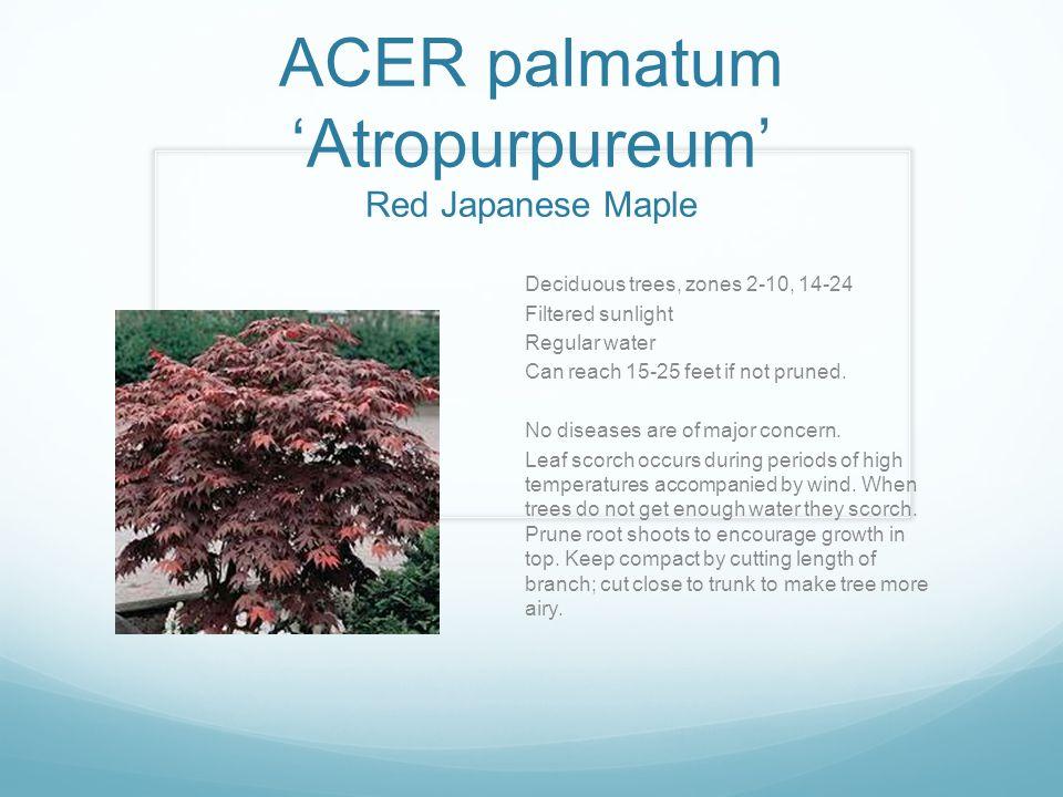 ACER palmatum 'Atropurpureum' Red Japanese Maple Deciduous trees, zones 2-10, 14-24 Filtered sunlight Regular water Can reach 15-25 feet if not pruned